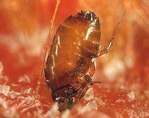 Укусы насекомых: как определить, кто укусил? Укусы клопов и блох на теле ребенка, взрослого: симптомы и лечение. Как выглядят укусы, как отличить их от укусов комаров?